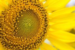 Słonecznik makro- Zdjęcie Royalty Free