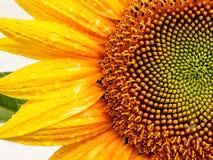 Słonecznik mokry deszczem Obraz Royalty Free