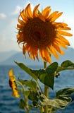 słonecznik morzem Zdjęcia Royalty Free