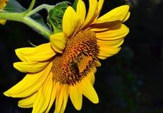 Słonecznik na ciemnym tle Fotografia Royalty Free