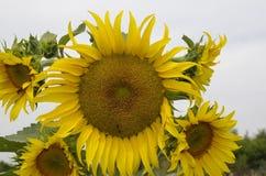Słonecznik na nieba tle Zdjęcie Royalty Free