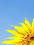 Słonecznik na niebieskim niebie Zdjęcia Stock
