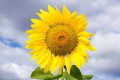 Słonecznik na niebieskim niebie Zdjęcie Royalty Free