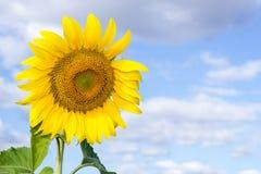 Słonecznik na niebieskim niebie Obrazy Royalty Free