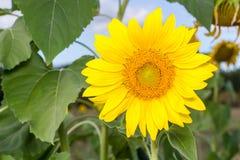 Słonecznik na niebieskim niebie Obraz Royalty Free