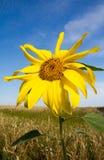 Słonecznik na niebieskim niebie Zdjęcie Stock