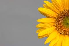 Słonecznik na popielatym tle Obraz Stock