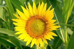 Słonecznik na zielonym tle Zdjęcie Royalty Free