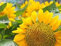 słonecznik ogrodu Obraz Royalty Free