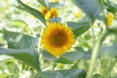 słonecznik ogrodu Zdjęcia Stock