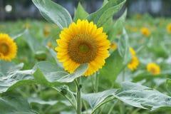 słonecznik ogrodu Zdjęcie Royalty Free