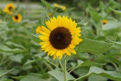 słonecznik ogrodu Obraz Stock