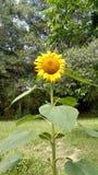 słonecznik ogrodu Obrazy Stock