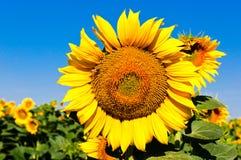 słonecznik pogodny zdjęcia royalty free