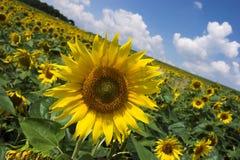 słonecznik pola Obraz Stock