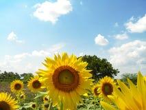 słonecznik pola Obrazy Royalty Free