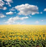 słonecznik pola Zdjęcie Stock