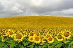 słonecznik pola Zdjęcie Royalty Free