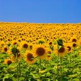 słonecznik pola Fotografia Royalty Free