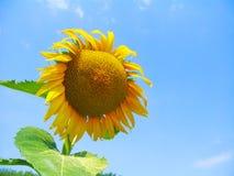 Słonecznik przeciw niebieskiemu niebu Zdjęcie Stock