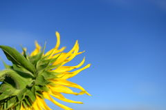 Słonecznik, przedpole Zdjęcie Royalty Free