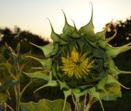 Słonecznik przy zmierzchem Zdjęcia Royalty Free