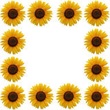 słonecznik ramowy Obrazy Royalty Free