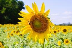 Słonecznik Thailand Obrazy Royalty Free
