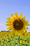 Słonecznik Thailand Zdjęcia Stock