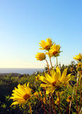 Słonecznik, Torrey sosen stanu park, los angeles Jolla Obrazy Royalty Free