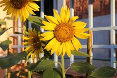 Słonecznik w garnku Zdjęcia Royalty Free