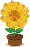 Słonecznik w Garnku Obrazy Royalty Free
