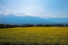 Słonecznik w Japonia Obrazy Royalty Free