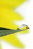 Słonecznik w kropli Obraz Stock