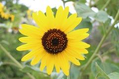 Słonecznik w ogródzie w DrÅ ¾ enice Fotografia Stock