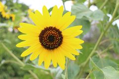 Słonecznik w ogródzie w DrÅ ¾ enice Fotografia Royalty Free