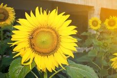 Słonecznik w ogródzie i pszczole Fotografia Stock