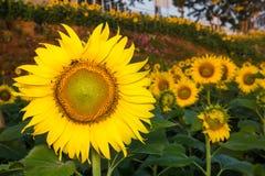 Słonecznik w ogródzie i pszczole Fotografia Royalty Free