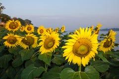 Słonecznik w ogródzie i pszczole Obrazy Stock