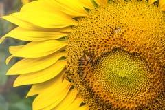 Słonecznik w ogródzie i pszczole Zdjęcia Stock