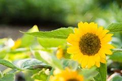 Słonecznik w parku Obraz Royalty Free