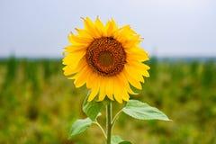 Słonecznik w polu Obraz Stock