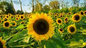 Słonecznik w polu Obrazy Royalty Free