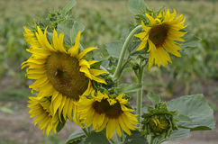 Słonecznik w polu Zdjęcie Stock