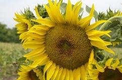 Słonecznik w polu Fotografia Stock