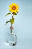 Słonecznik w wazie woda Zdjęcia Royalty Free