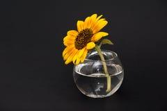 Słonecznik w wazie woda Zdjęcia Stock