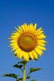 Słonecznik w zimie Obraz Royalty Free