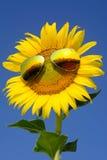 Słonecznik w zimie Fotografia Stock