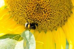 Słonecznik z bumblebee Zdjęcie Stock